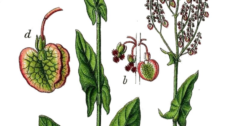 Traditional and Modern Uses of Sorrel (Rumex acetosa)
