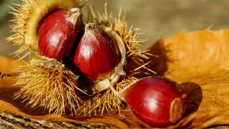 Sweet Chestnut - What to Forage in November