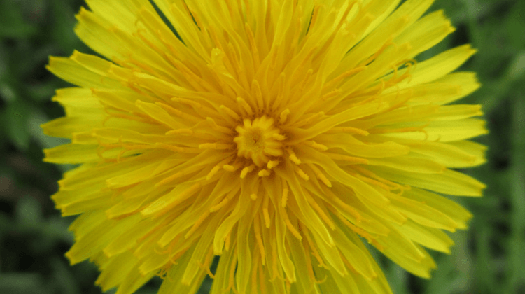 Tale of the Dandelion