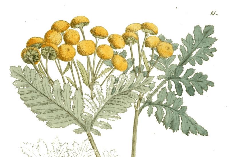 Tansy recipe - Tanacetum vulgare