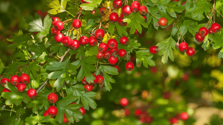 Traditional Hawthorn Jelly Recipe