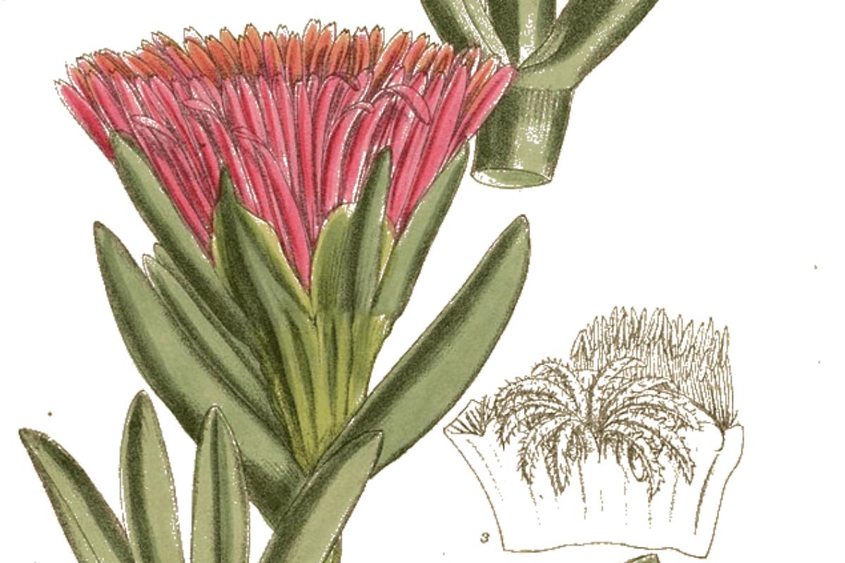 Traditional use of hottentot fig Carpobrotus edulis