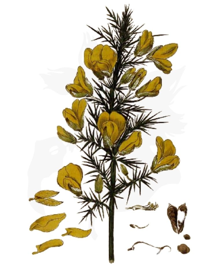 Gorse - A Foraging Guide to Its Food, Medicine and Other Uses