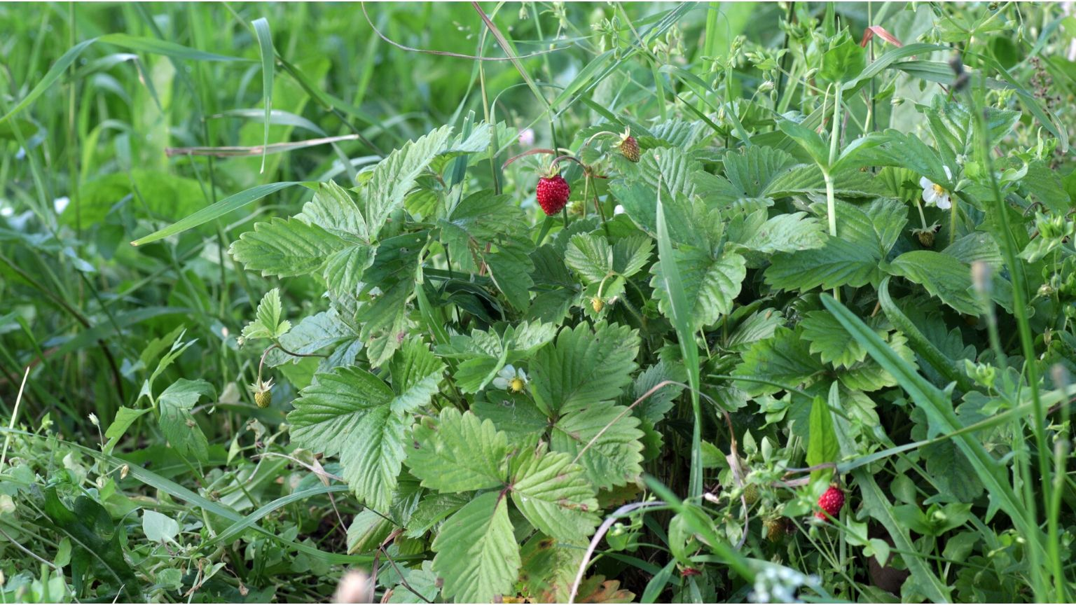 What to Forage in July - The Best Wild Edible Plants To Gather
