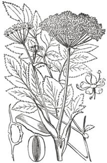 Wild angelica - Angelica-sylvestris-illus