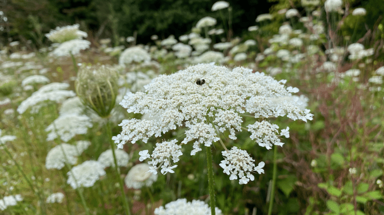 Wild Carrot Flower Cordial Recipe