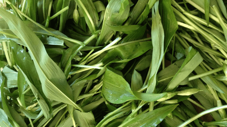 Wild Garlic Dandelion Salad