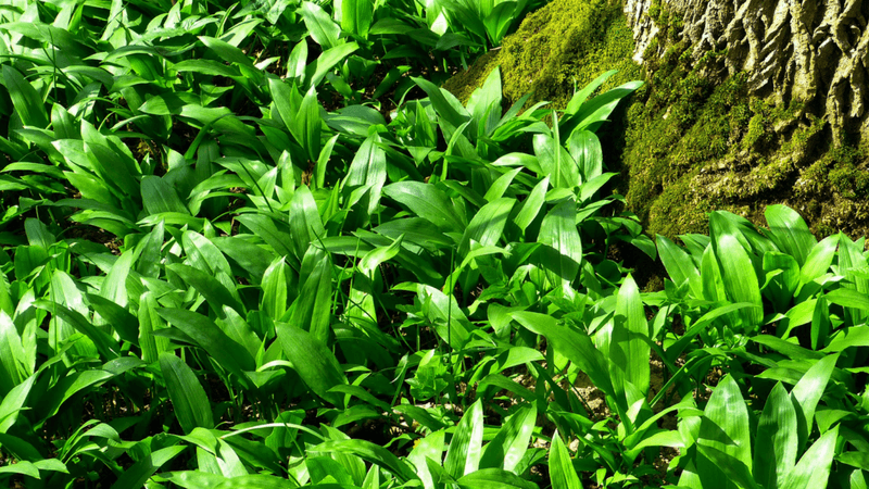 Wild Garlic Folklore