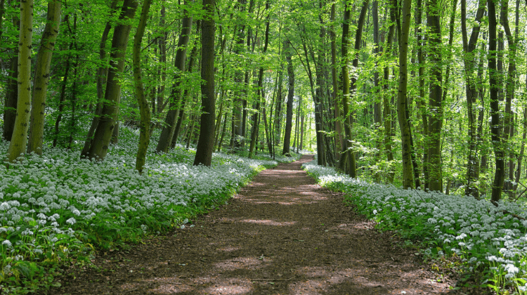 Everything You Need to Know About Wild Garlic - Food, Medicine & Uses