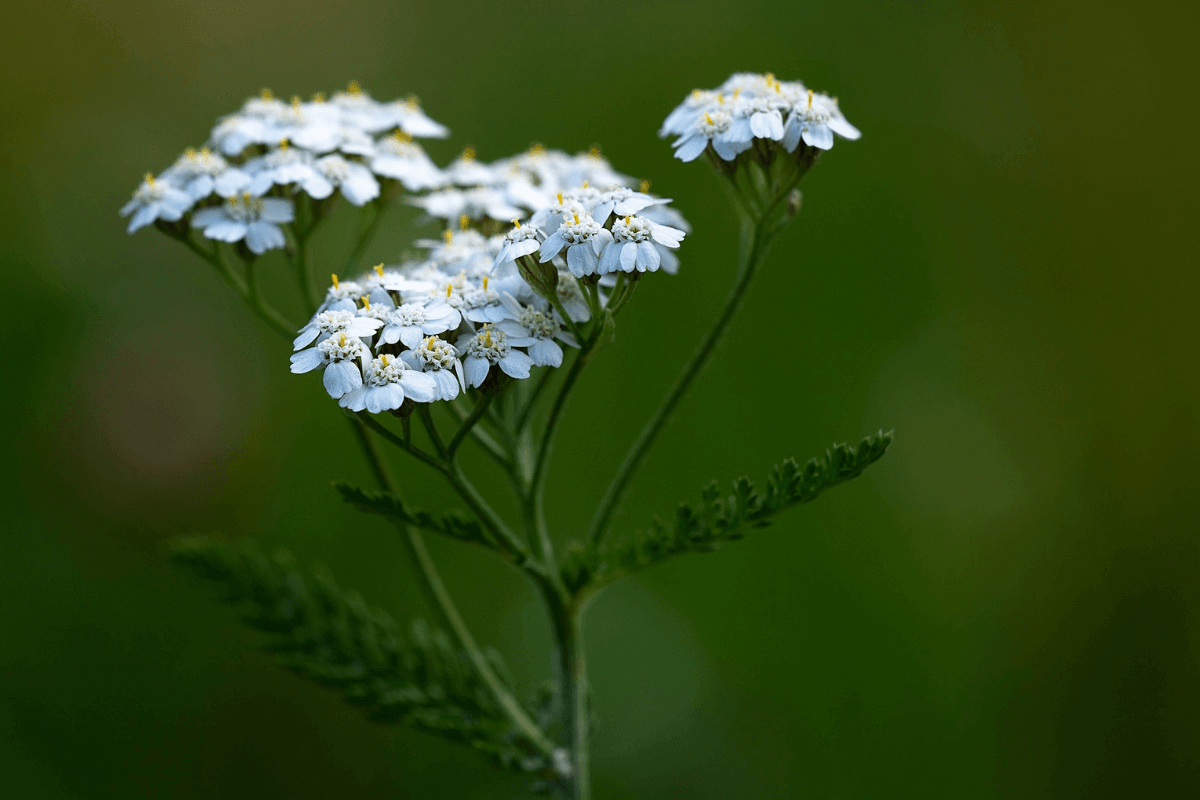 Yarrow as a herbal remedy