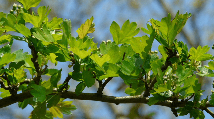 Young Hawthorn Leaves - Crataegus monogyna